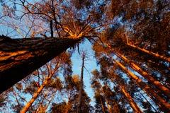 Alberi in Lituania fotografia stock libera da diritti