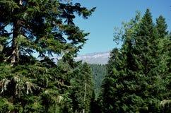 Alberi maestosi sui precedenti delle montagne con una neve e un cielo blu Fotografia Stock