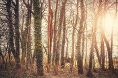 Alberi misteriosi al tramonto, tonalità di colore applicata Fotografie Stock Libere da Diritti