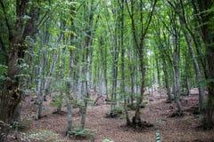 Alberi misteriosi nella foresta sulla montagna Chatyr-Dag Fotografia Stock