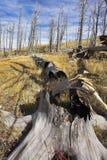 alberi mozzi persi della foresta Fotografie Stock Libere da Diritti