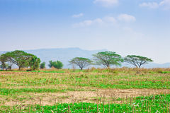 Alberi nel campo verde sulla campagna Immagini Stock
