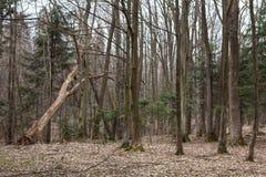 Alberi nel legno Fotografia Stock
