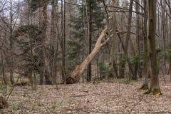 Alberi nel legno Immagini Stock