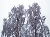 Alberi nell'immagine di sfondo della natura di inverno fotografia stock