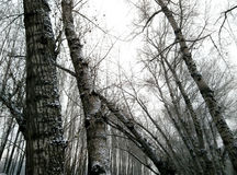 Alberi nell'inverno Fotografia Stock Libera da Diritti