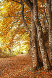Alberi nella foresta all'autunno Immagine Stock