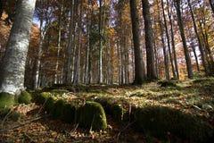 Alberi nella foresta con i colori di autunno Fotografia Stock Libera da Diritti