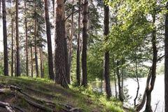 Alberi nella foresta dal lago Conifere decidue e Fotografie Stock Libere da Diritti