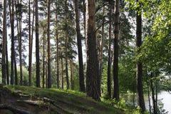 Alberi nella foresta dal lago Conifere decidue e Immagini Stock