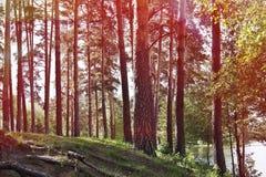 Alberi nella foresta dal lago Conifere decidue e Fotografia Stock Libera da Diritti