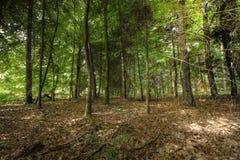 Alberi nella scena della foresta Fotografia Stock