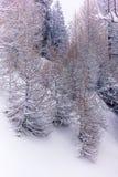 Alberi nelle alpi svizzere sotto precipitazioni nevose pesanti - 4 Fotografia Stock