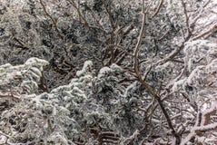 Alberi nelle alpi svizzere sotto precipitazioni nevose pesanti - 18 Fotografia Stock Libera da Diritti