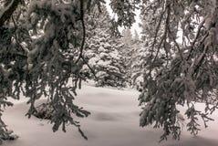 Alberi nelle alpi svizzere sotto precipitazioni nevose pesanti - 22 Immagini Stock Libere da Diritti