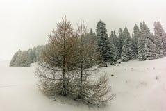 Alberi nelle alpi svizzere sotto precipitazioni nevose pesanti - 5 Immagine Stock
