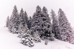 Alberi nelle alpi svizzere sotto precipitazioni nevose pesanti - 6 Fotografia Stock