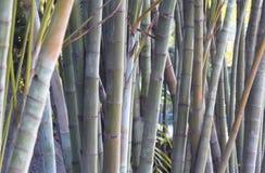 Alberi ornamentali Fotografia Stock Libera da Diritti