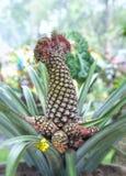 Alberi ornamentali dell'ananas con molte spine Immagine Stock