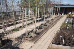 Alberi ornamentali nelle piante di scuola materna nel giorno di primavera Fotografia Stock Libera da Diritti