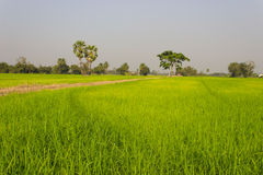 Alberi in Paddy Field Fotografie Stock