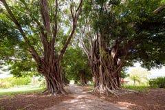 Alberi ramosi e un percorso attraverso loro, Trinidad, Sancti Spiritus, Cuba Copi lo spazio per testo Fotografie Stock