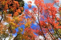 Alberi rossi alti nel periodo di autunno Fotografia Stock