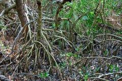 Alberi rossi della mangrovia Immagini Stock Libere da Diritti