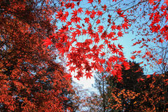 Alberi rossi naturali con il fondo del cielo blu Immagine Stock