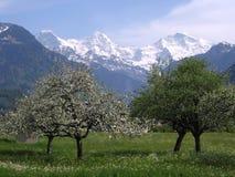 Alberi sboccianti davanti a neve Immagini Stock