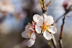 Alberi sboccianti in floreale naturale di tempo di primavera Fotografie Stock Libere da Diritti