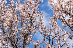 Alberi sboccianti in floreale naturale di tempo di primavera Fotografia Stock Libera da Diritti