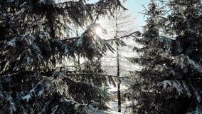 Alberi sempreverdi con neve sui rami alla luce solare luminosa archivi video