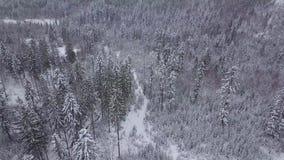 Alberi sempreverdi nell'inverno bianco silenzioso stock footage