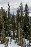 Alberi sempreverdi più piovosi di Mt grandi Fotografia Stock Libera da Diritti