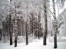 Alberi sotto neve Fotografia Stock