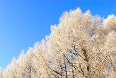 Alberi sotto neve sopra cielo blu Immagini Stock