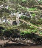 Alberi stagionati di Monterey Cypress fotografia stock