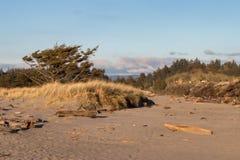 Alberi stagionati morti sulle dune di sabbia con erba Immagine Stock