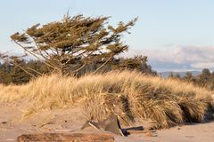 Alberi stagionati morti sulle dune di sabbia con erba Fotografia Stock