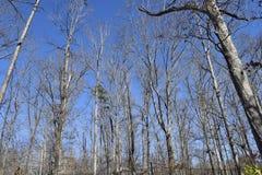 Alberi sterili nella foresta alla stagione invernale Immagini Stock Libere da Diritti