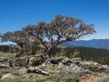 Alberi su una scogliera della montagna Immagini Stock Libere da Diritti