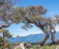 Alberi su una scogliera della montagna Immagine Stock