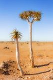 Alberi sul deserto nel Sudafrica Immagini Stock