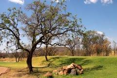 Alberi sul terreno da golf sudafricano. Immagine Stock