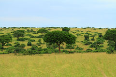 Alberi sulla savana ugandese con cielo blu Immagine Stock Libera da Diritti