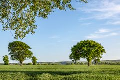 Alberi in un campo in Sussex fotografia stock