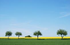 Alberi in un giacimento del seme di ravizzone Fotografia Stock Libera da Diritti