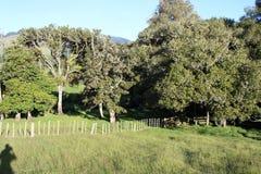 Alberi in un prato del terreno coltivabile della Nuova Zelanda Fotografie Stock Libere da Diritti