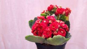 Alberi in un vaso di fiore rosso - rosa, ornamentale di uso - decorativo, belle foglie verdi, adorabili Fotografia Stock